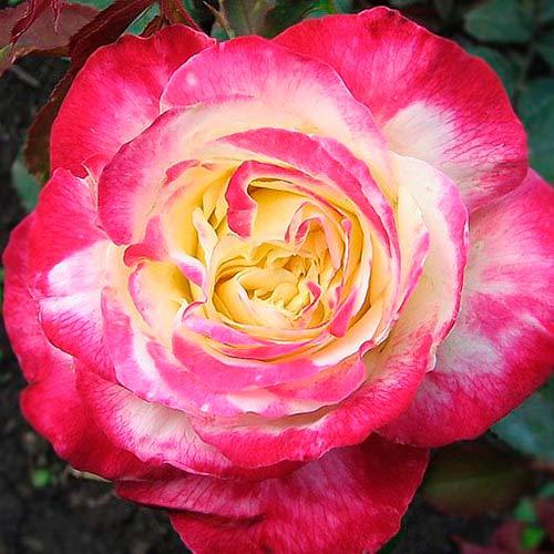 Роза Дабл Делайт изображение 2