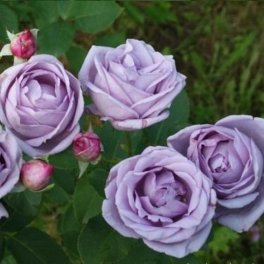 Роза Индиголетта 2
