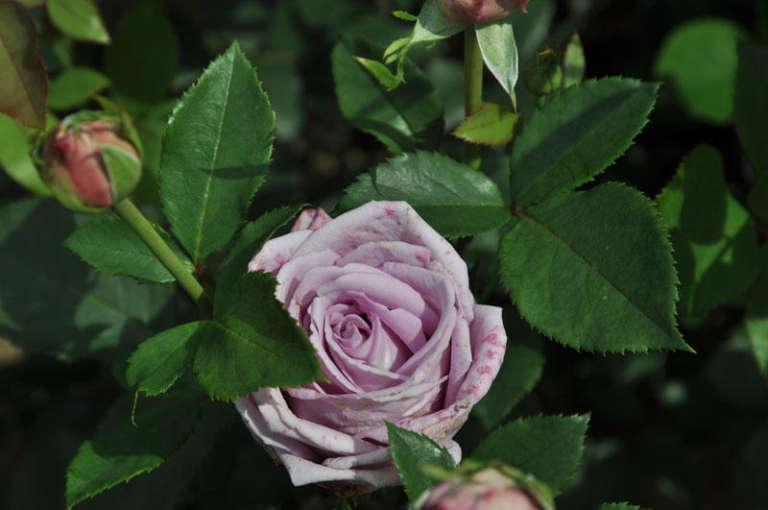 Роза Индиголетта 4