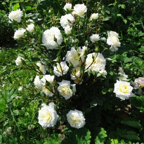 Роза Сноу Денс изображение 4