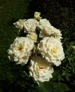 Роза Сноу Денс изображение 3