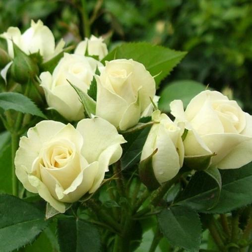 Роза Сноу Денс изображение 1