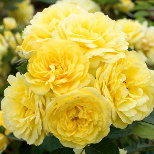 Роза Фрезия изображение 1