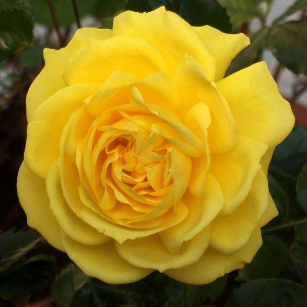 Роза Фрезия изображение 4