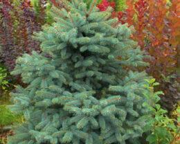Ель обыкновенная Picea abies