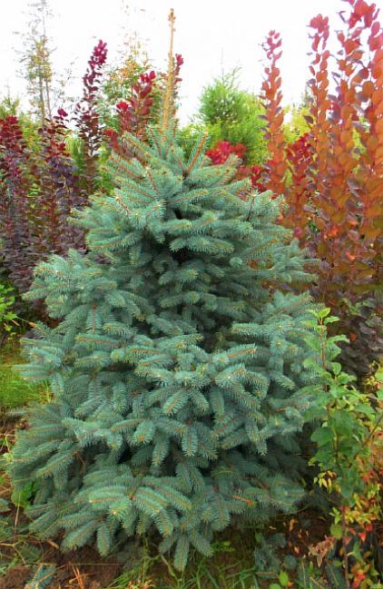 Ель обыкновенная Picea abies изображение 1