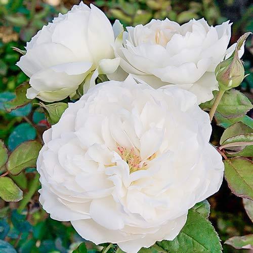 Роза Болеро 2