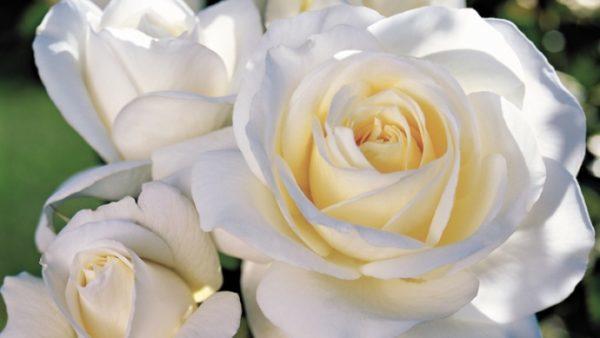Роза Болеро 1