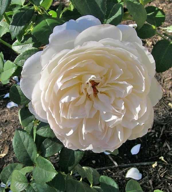 Роза Болеро 4