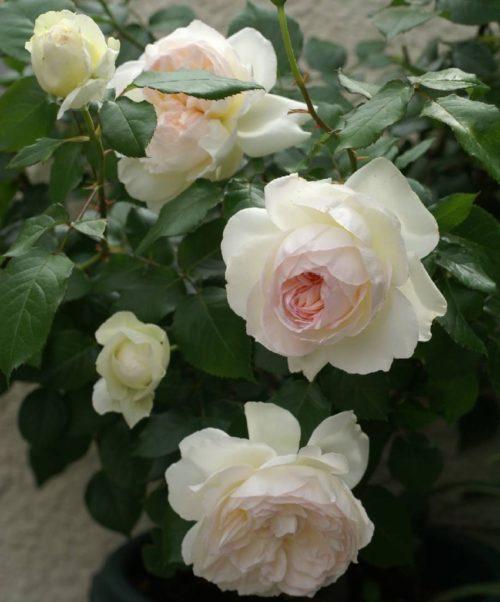 Роза Болеро 3