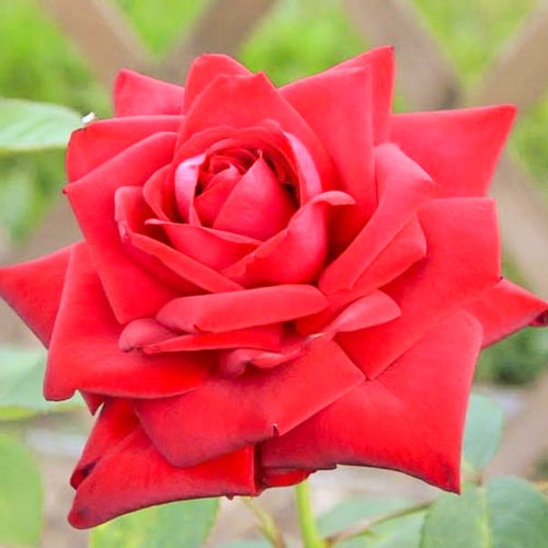 Роза Бургундия 1