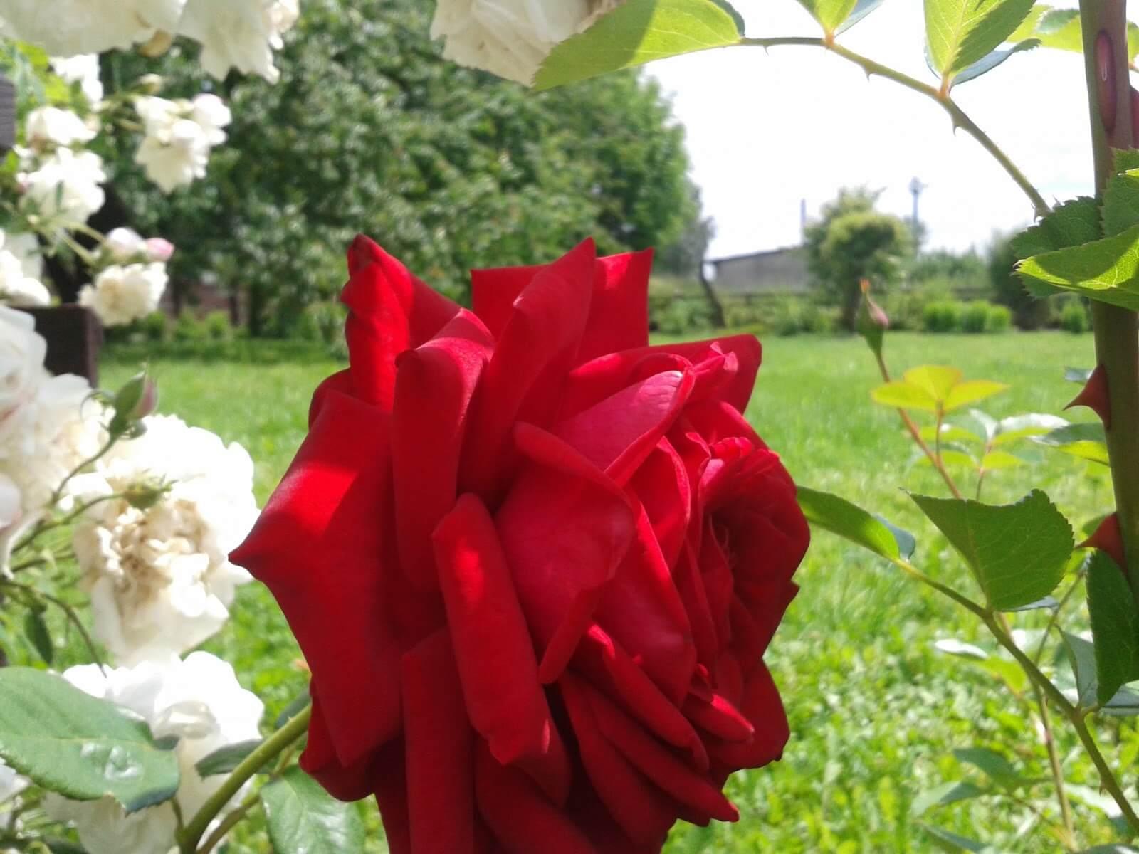 Роза Бургундия 2