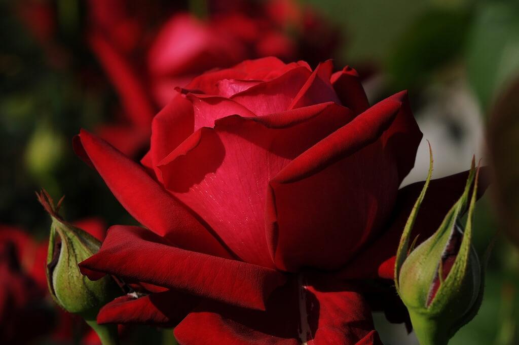 Роза Бургундия 3