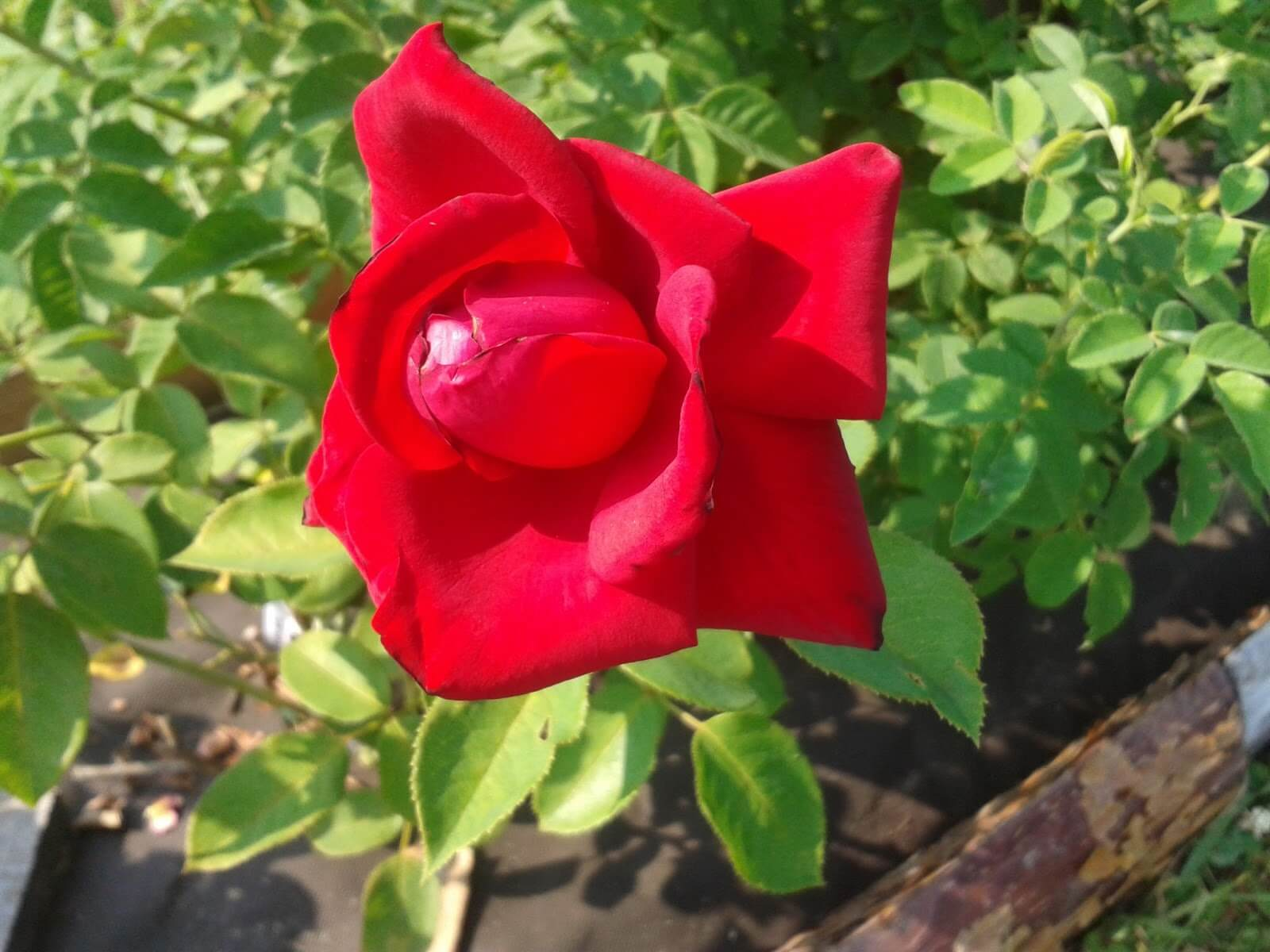 Роза Бургундия 4