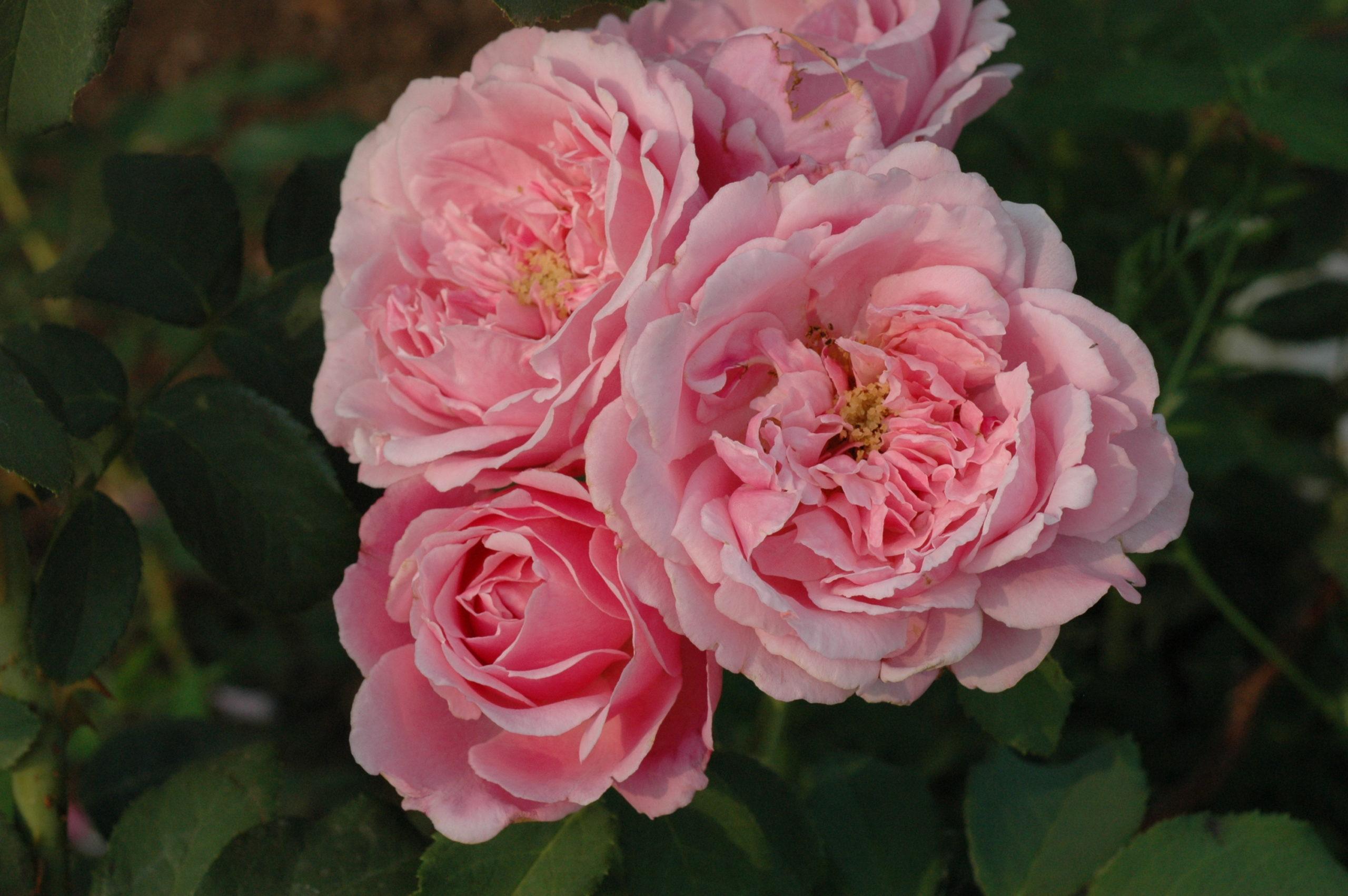 Роза Дитер Мюллер изображение 1