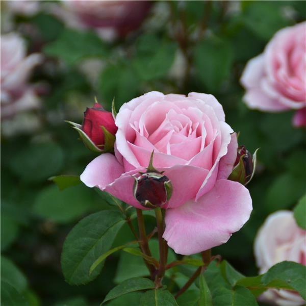 Роза Дитер Мюллер изображение 2