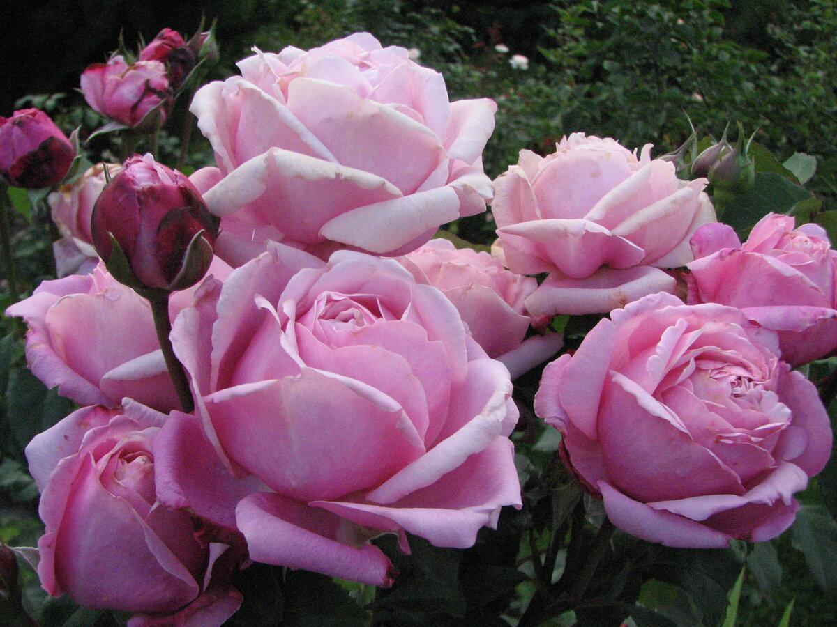 Роза Дитер Мюллер изображение 3