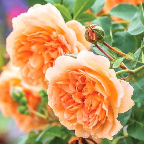 Роза Леди Эмма Гамильтон изображение 1