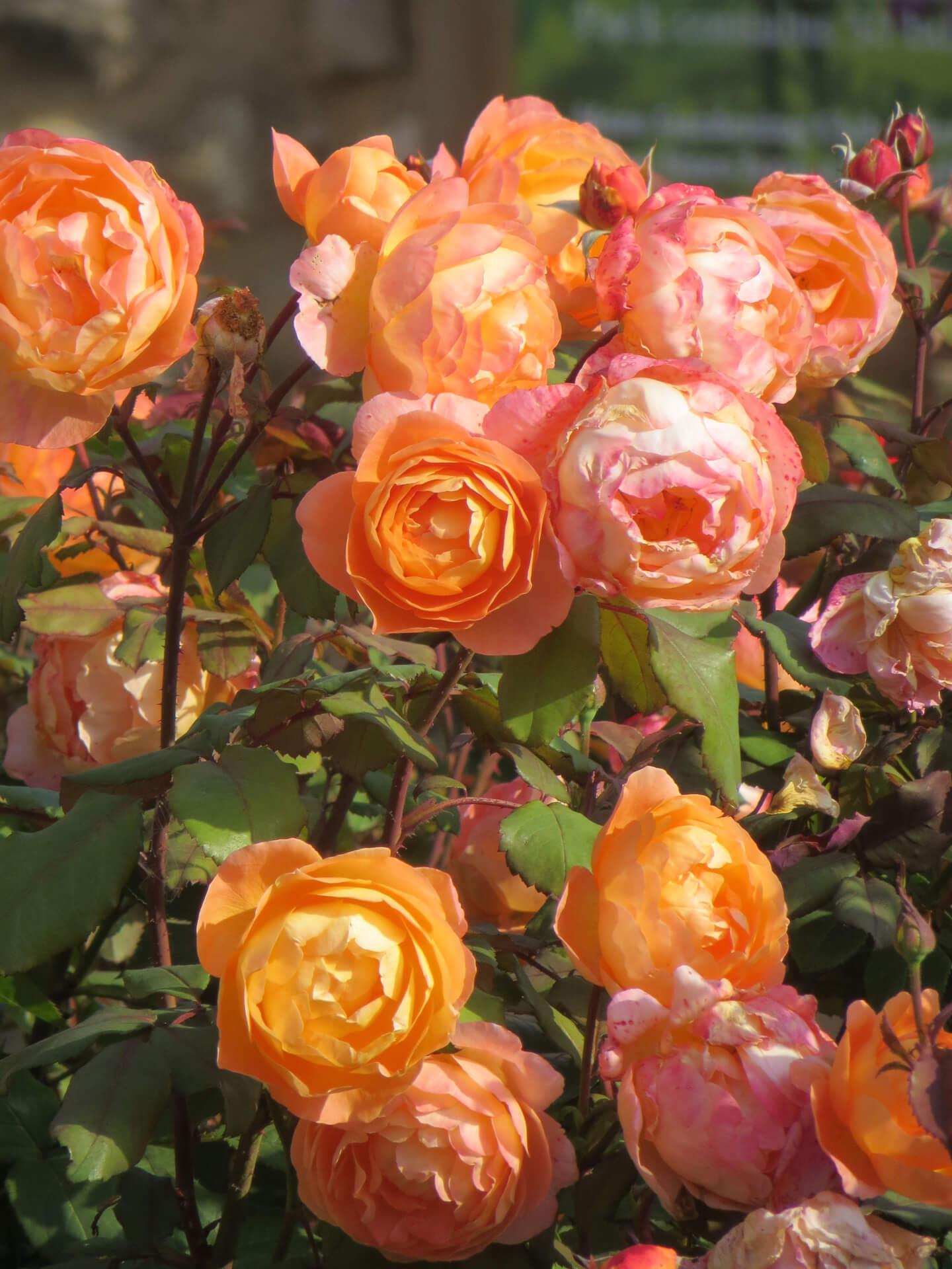 Роза Леди Эмма Гамильтон изображение 2