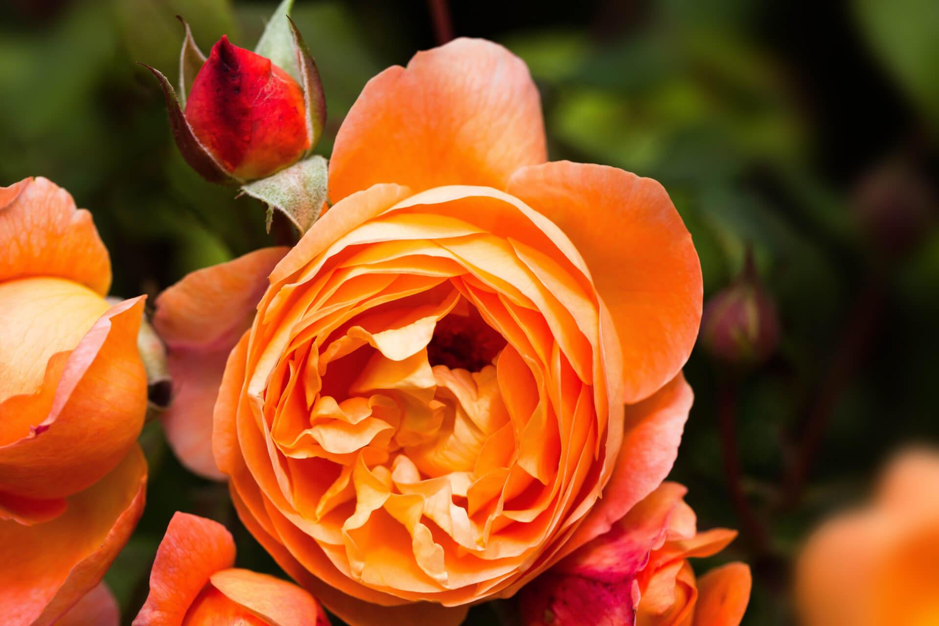 Роза Леди Эмма Гамильтон изображение 4