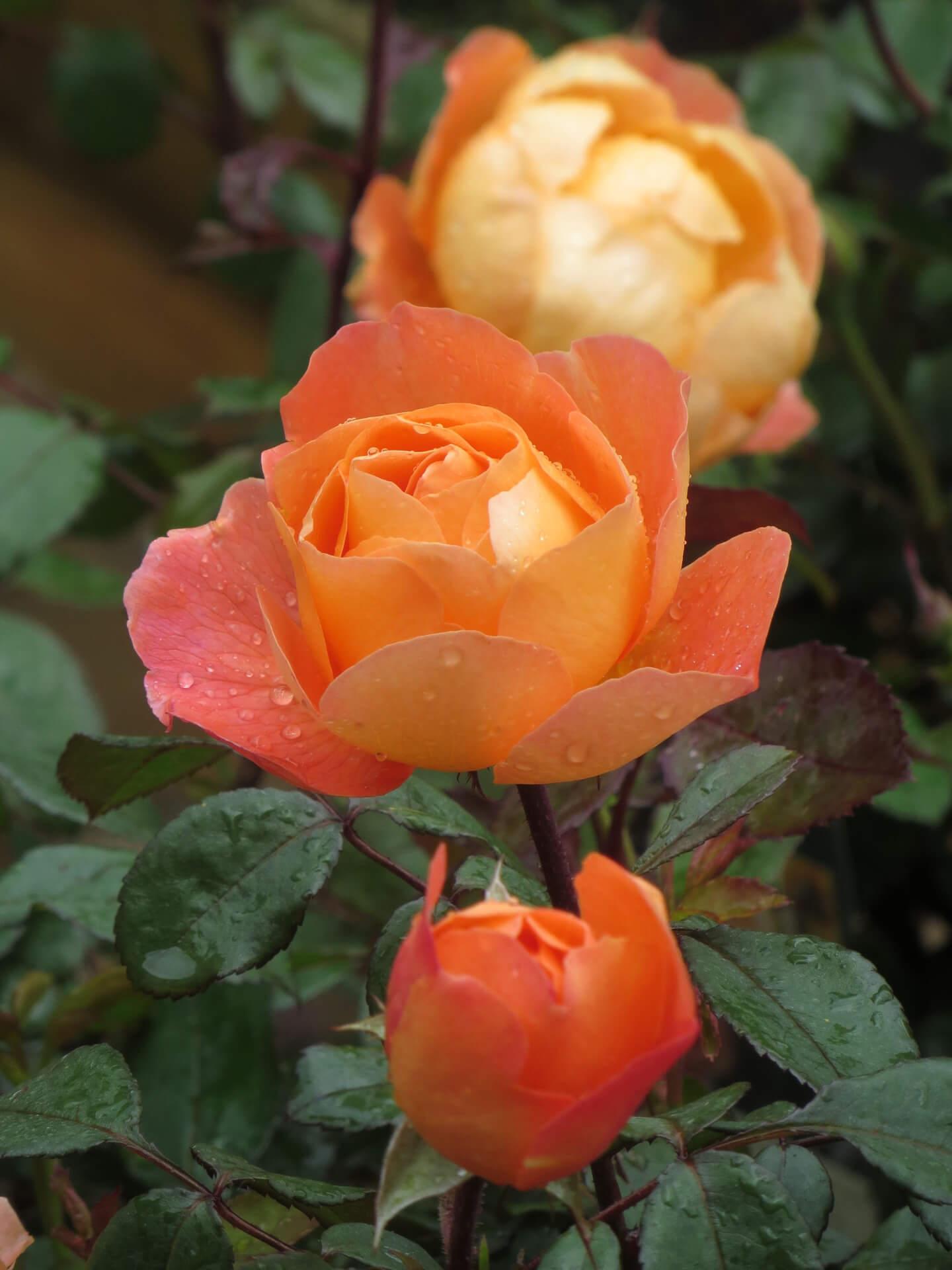 Роза Леди Эмма Гамильтон 3