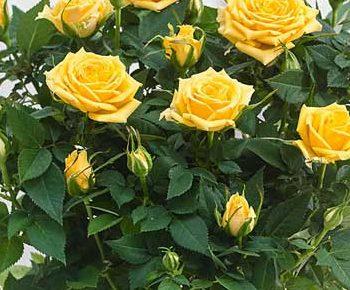Роза Санторини 3