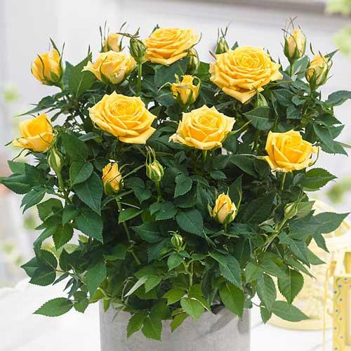 Роза Санторини изображение 2