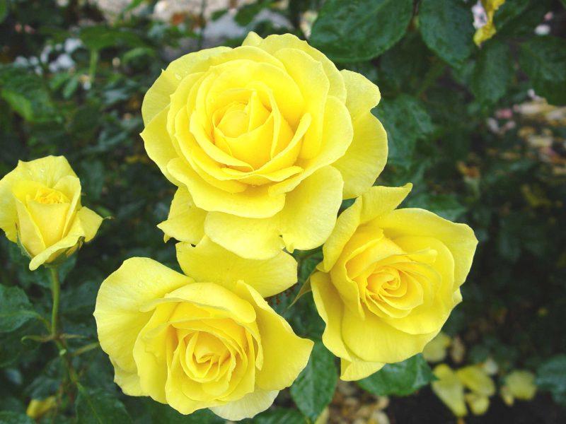 Роза Санторини изображение 3