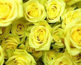 Роза Санторини