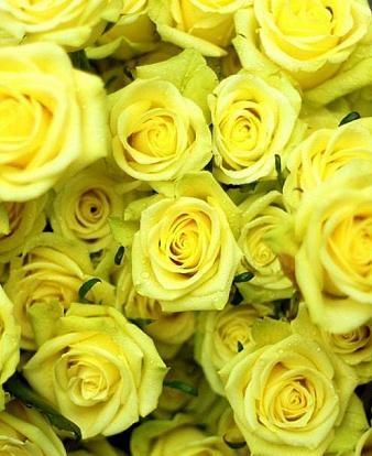 Роза Санторини изображение 1