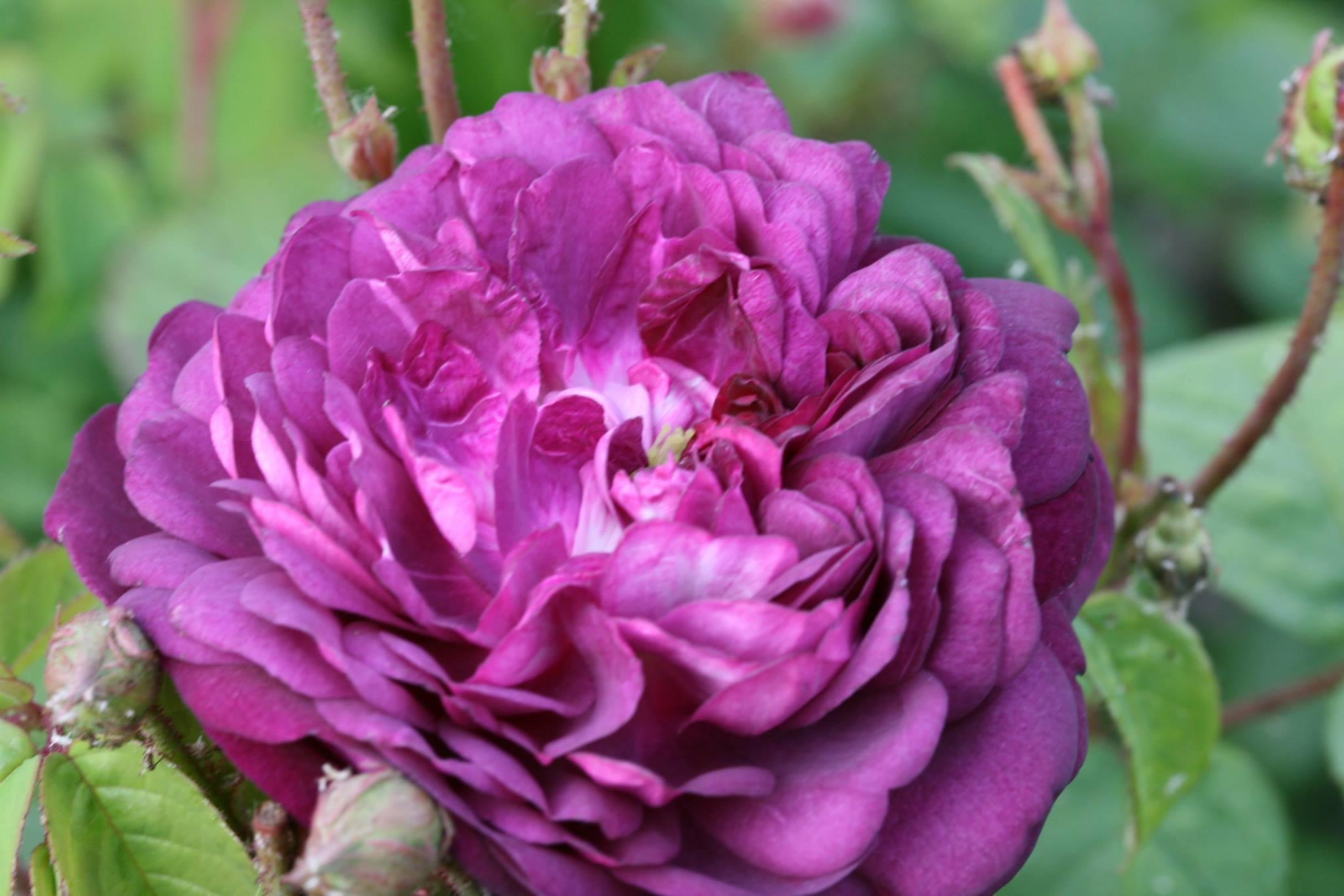 Бордюрные розы Кардинал изображение 2
