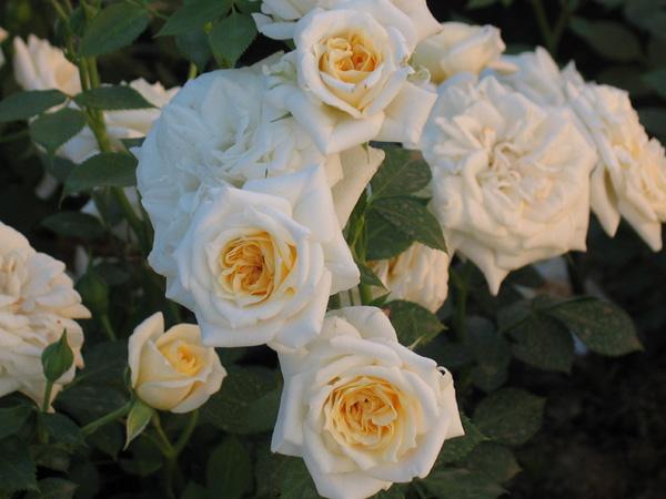 Роза Ханимилк изображение 3