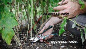 Как проводить обрезку ремонтантной и обычной малины осенью