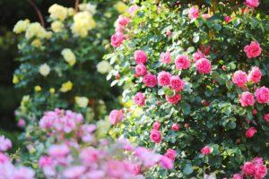 Хранение саженцев роз до посадки: проверенные способы