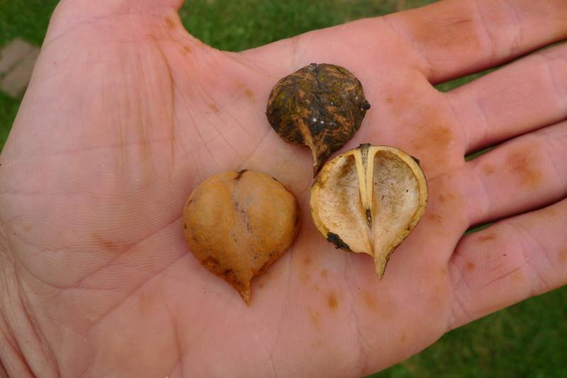 Орех Сердцевидный 2