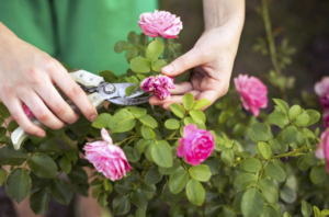 Лучшие миниатюрные розы для Подмосковья