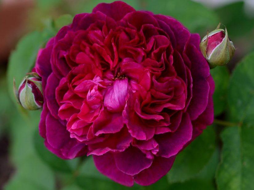Роза английская Вильям Шекспир изображение 2