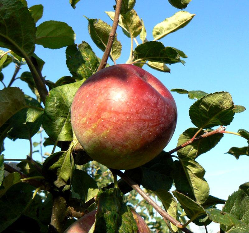 Яблоня Алеся (Олеся) изображение 2