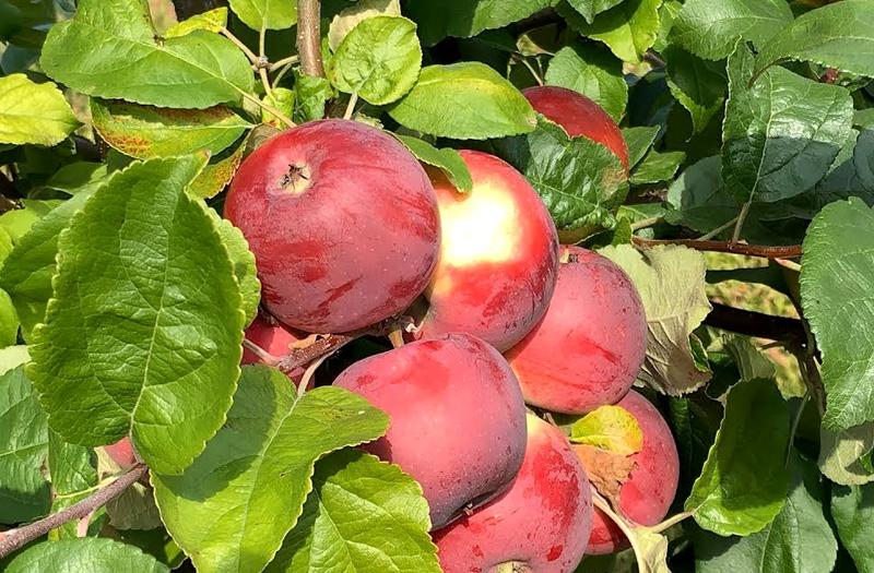 Яблоня Алеся (Олеся) изображение 3