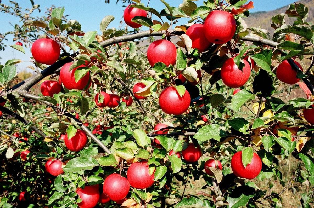 Яблоня Апорт Кроваво-красный изображение 2