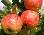 Яблоня Башкирская красавица (Башкирский красавец)