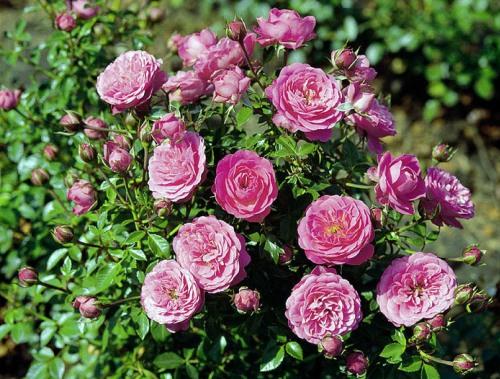 Роза Амулет 2