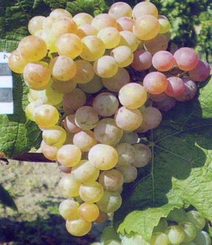 Виноград Ароматный изображение 1