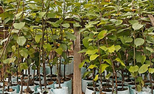 Грецкий орех — могучее растение с уникальным составом и лечебными свойствами