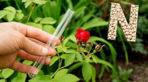 Сезонные подкормки роз – 5 вариантов получения здоровых и цветущих кустов