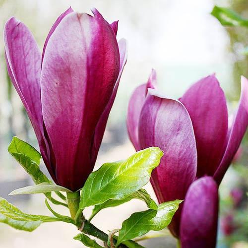 Магнолия лилиецветная Нигра изображение 2
