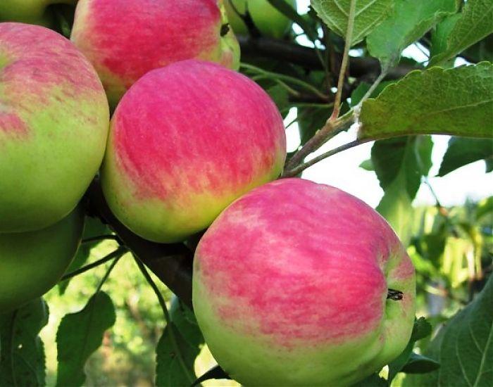 Яблоня Мантет изображение 2