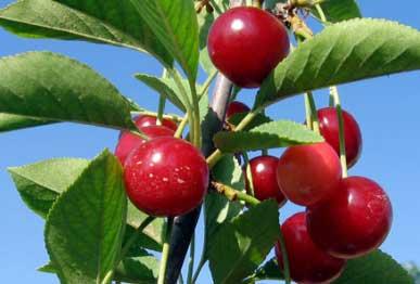 Посадка черешни весной саженцами: как посадить и получить обильный урожай?