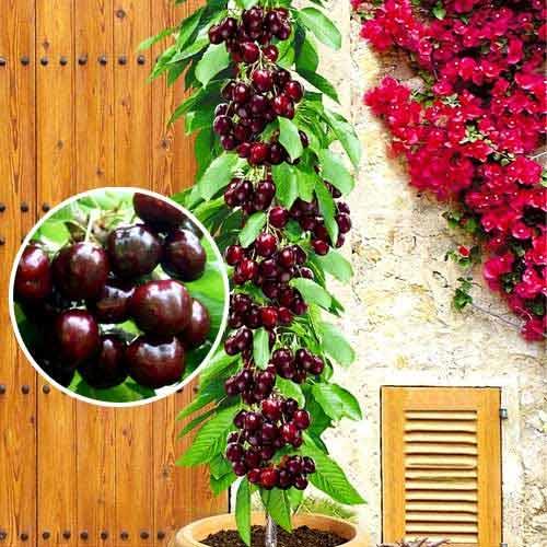 Посадка колоновидной черешни: как получить богатый урожай?