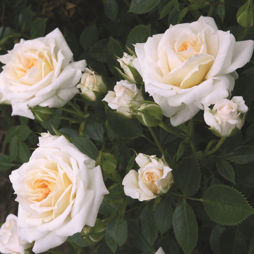 Роза Ханимилк изображение 2